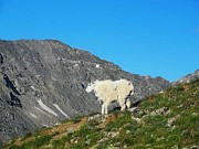 Tenmile Range Art - Mountain goat by Danielle Marie