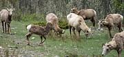 Gail Matthews - Mountain Goat Family Grazing