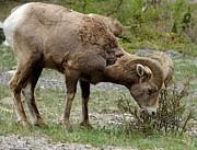 Gail Matthews - Mountain Goat Grazing