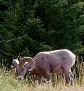 Gail Matthews - Mountain Goat in British Columbia