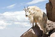 All - Mountain Goat in the Clouds by Jaci Harmsen