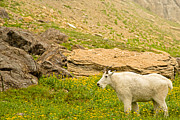Natural Focal Point Photography - Mountain Goat in the...