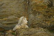 Mountain Goat Print by Jeff  Swan