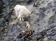 All - Mountain Goat Mother Encouraging the Kid by Tom Wurl