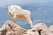 All - Mountain Goat on Rocks by Jaci Harmsen