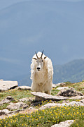 All - Mountain Goat Portrait by Jaci Harmsen