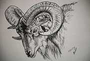 Mountain Goat Drawings - Mountain Goat Ram by Tracey Beer
