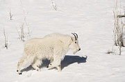 Sandra Bronstein - Mountain Goat Stroll