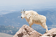 All - Mountain Goat Up High by Jaci Harmsen