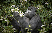 Ape Photo Originals - Mountain Gorilla Eating Flowers by Juergen Ritterbach