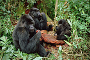 Three-quarter Length Prints - Mountain Gorilla Group Eating  Print by Gerry Ellis