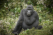 Ape Photo Originals - Mountain Gorilla by Juergen Ritterbach