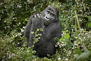 Ape Photo Originals - Mountain Gorilla Praying by Juergen Ritterbach