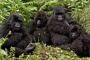 Primates Framed Prints - Mountain Gorilla Susa Group Framed Print by Ingo Arndt
