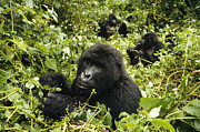 Critically Endangered Animals Prints - Mountain Gorillas Feeding Print by Konrad Wothe
