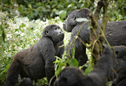 Ape Photo Originals - Mountain Gorillas by Juergen Ritterbach