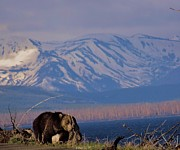 Kodiak Prints - Mountain Grizzly Print by Dan Sproul