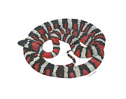 Cindy Hitchcock - Mountain King Snake