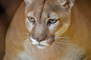 Puma Head Shot Posters - Mountain Lion Poster by Brian Stevens