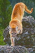 Judi Baker - Mountain Lion