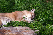 Catamount Posters - Mountain Lion Napping Poster by Ms Judi