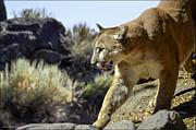 LeeAnn McLaneGoetz McLaneGoetzStudioLLCcom - Mountain Lion on the prowl