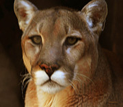 Mountain Lion Portrait Print by DiDi Higginbotham