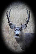 All - Mountain Mule Deer by Shane Bechler