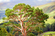 D300 Framed Prints - Mountain Pine Tree in Wicklow. Ireland Framed Print by Jenny Rainbow