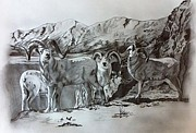 Mountain Goat Drawings - Mountain Sheep by Erin Filan