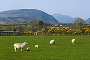 Jane Mcilroy Metal Prints - Mourne Mountains near Kilkeel Metal Print by Jane McIlroy