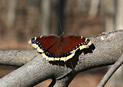 Jim Vansant - Mourning Cloak Butterfly...