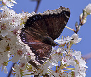 Apple-blossom Pastels - Mourning Cloak by Tracey Levine