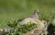 David Lester Prints - Mourning Dove 1 Print by David Lester