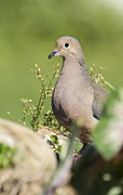 David Lester Prints - Mourning Dove 2 Print by David Lester