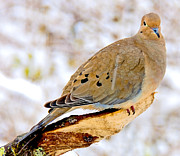 A Gurmankin - Mourning Dove Animal...