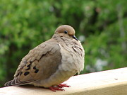 Beverly Livingstone - Mourning Dove