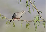 Daniel Behm Metal Prints - Mourning Dove Metal Print by Daniel Behm