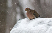 Karen Adams - Mourning Dove in Snow