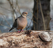 Mourning Dove Posters - Mourning Dove on a Log Poster by Marjorie Imbeau