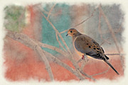 Dan Friend - Mourning Dove on branch