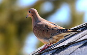 Mourning Dove Posters - Mourning Dove on Roof Poster by Marjorie Imbeau