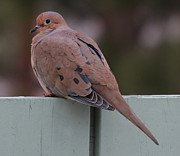 Mourning Dove Posters - Mourning Dove on the Fence Poster by Marjorie Imbeau