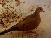 Pamela Phelps - Mourning Dove