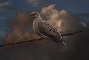 Mourning Dove Posters - Mourning Dove Poster by Ron Jones