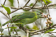 Jean-Luc Baron - Moustached Barbet