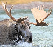 Bull Moose Posters - Mouthful Of Water Poster by Adam Jewell