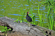 Al Powell Photography Usa Posters - Mouthy Moorhen Poster by Al Powell Photography USA