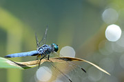 Dragonfly Macro Photos - Moving Toward The Light by Fraida Gutovich