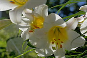 Trumpet Digital Art - Moving White Hybrid Lilies With Streaming Bokeh by Rosemarie E Seppala